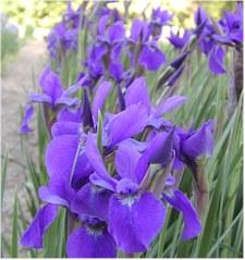 PurpleTeal1.jpg
